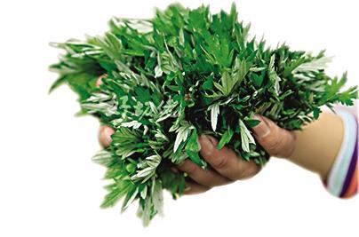 Artemisia Annua Extract