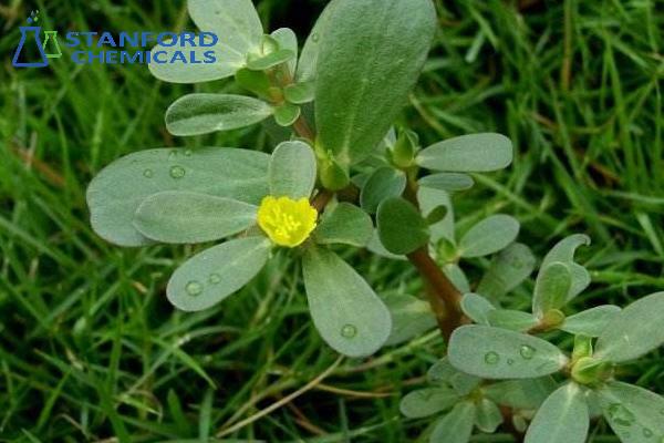 Herba Portulacae Extract